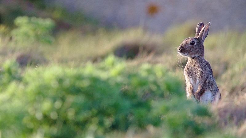 Doença hemorrágica provocada por vírus ameaça população de coelhos selvagens nos Estados Unidos