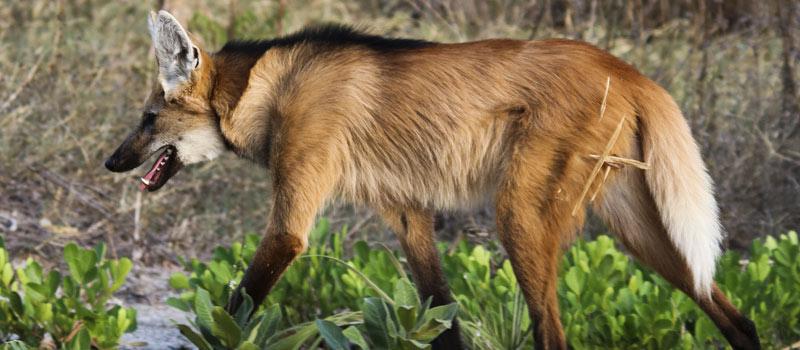 Após morte da mãe, filhotes de lobo-guará são levados para zoo de Brasília, para no futuro, poderem voltar à natureza
