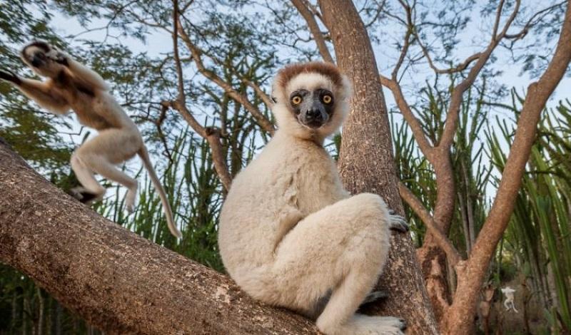 Quase 30% das espécies de lemur de Madagascar estão agora criticamente ameaçadas de extinção