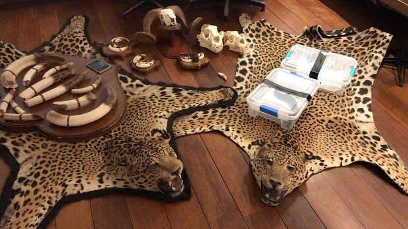 Tapetes de onça e diversos animais originários do tráfico são apreendidos pela Polícia Federal em cinco estados