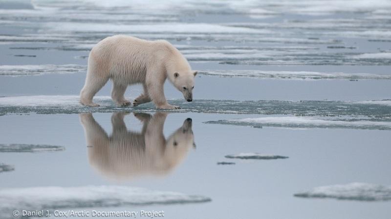 Degelo crescente do Ártico pode fazer com que urso polar seja extinto até 2100
