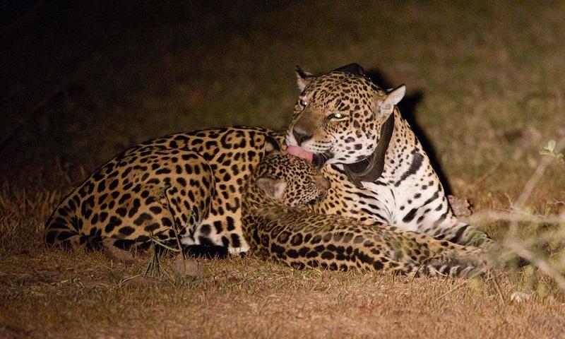 Ao aliar ecoturismo e pesquisa científica, o Onçafari trabalha pela preservação do maior felino das Américas