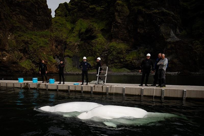 Após dez anos em aquário na China, baleias belugas são soltas nas águas de santuário na Islândia