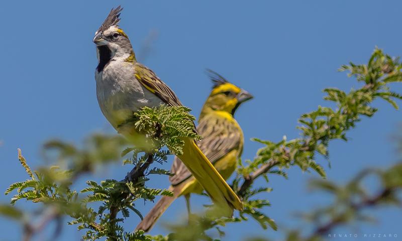Frente-a-frente com o belíssimo cardeal-amarelo dos Pampas