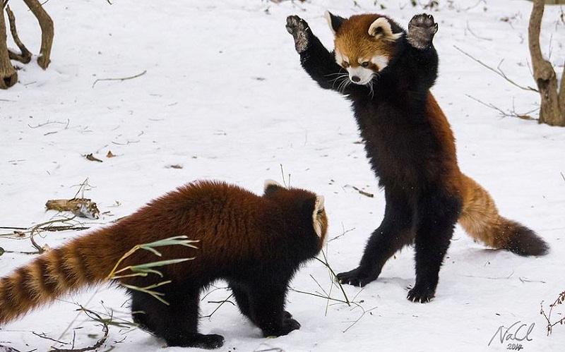 Nascem em zoológico americano dois filhotes de panda vermelho, espécie em risco de extinção