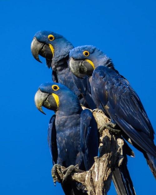 Incêndios no Pantanal ameaçam maior refúgio de araras-azuis do Brasil
