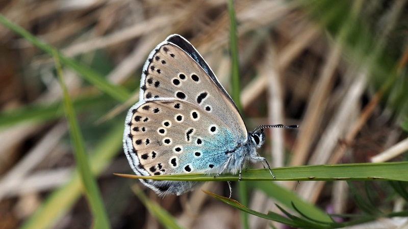 Graças a projeto de reintrodução, após 150 anos, a raríssima grande borboleta azul volta à paisagem da Inglaterra