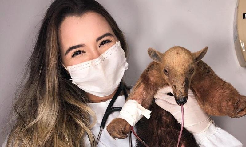 Ao tentar fugir de queimada, filhote de tamanduá-mirim é atropelado, mas passa por cirurgia bem-sucedida em Rondônia