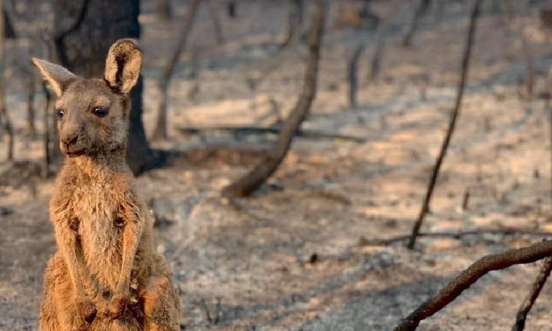 Três bilhões de animais foram afetados pelos incêndios florestais da Austrália, revela novo estudo