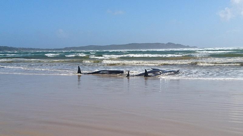 Biólogos se mobilizam para salvar centenas de baleias encalhadas na costa da Austrália