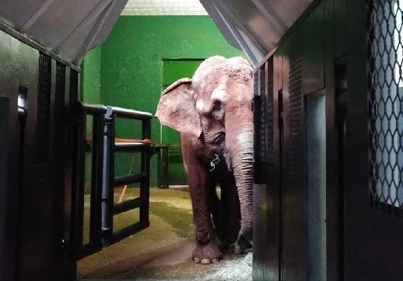 Bambi, a futura moradora do Santuário dos Elefantes Brasil, já está a caminho de seu novo lar no Mato Grosso