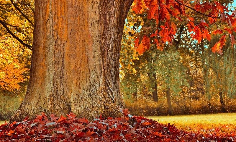 Canadenses se unem para salvar árvore com quase 300 anos - mais antiga que o próprio país