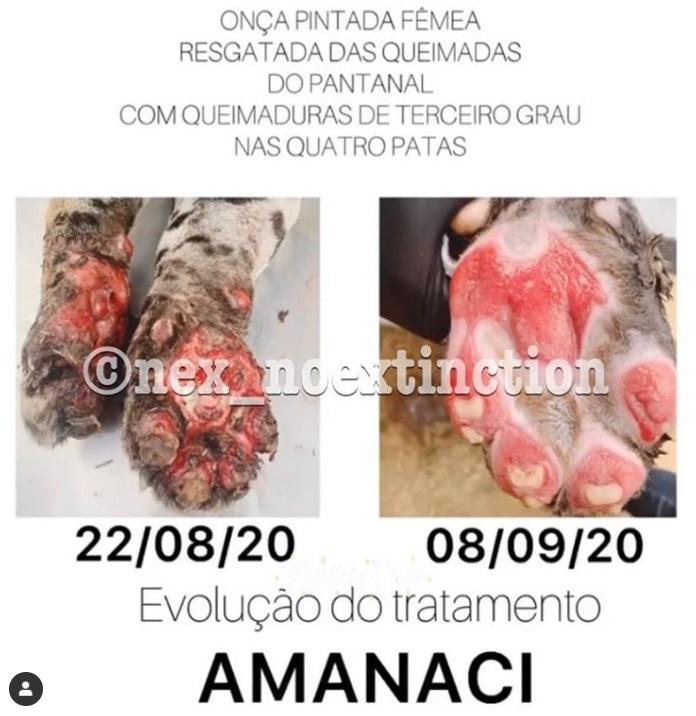 Onça-pintada, que teve quatro patas queimadas em incêndio no Pantanal, volta a caminhar após tratamento com células-tronco