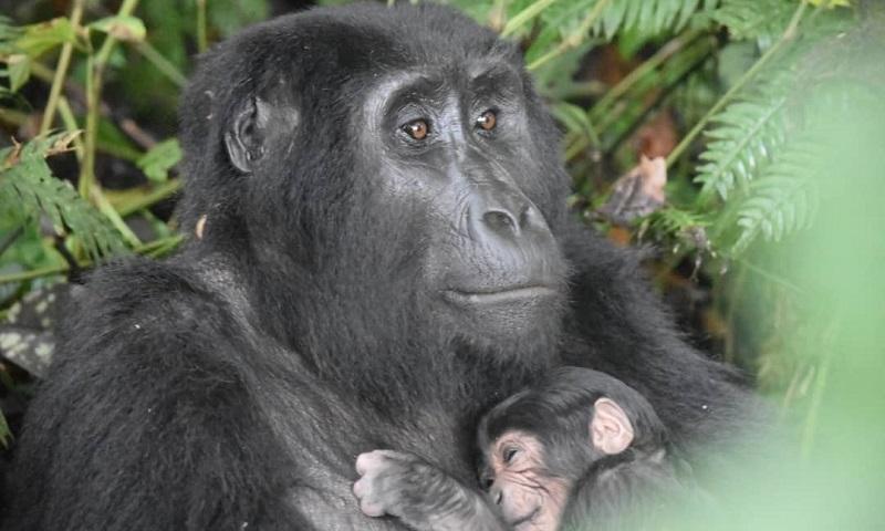 Uganda comemora número surpreendente de nascimentos de gorilas-das-montanhas