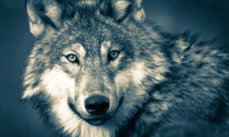 Estado americano de Wisconsin libera a caça de 300 lobos na 'temporada de outono' de 2021