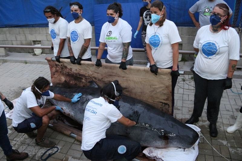 Baleia cachalote-pigmeu encalha em Santa Catarina e é resgatada para tratamento