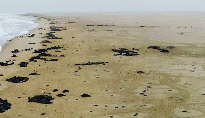 Cerca de 7 mil filhotes de leões-marinhos aparecem mortos na Namíbia