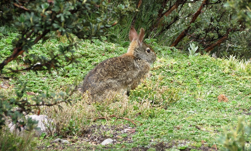 Filhotes de tapitis, única espécie de coelho genuinamente brasileira, são achados no Parque Nacional da Tijuca, no Rio de Janeiro