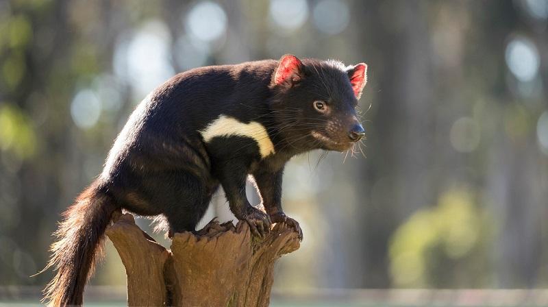 Após 3 mil anos, nascem primeiros filhotes de diabo-da-tasmânia na natureza, graças à reintrodução da espécie