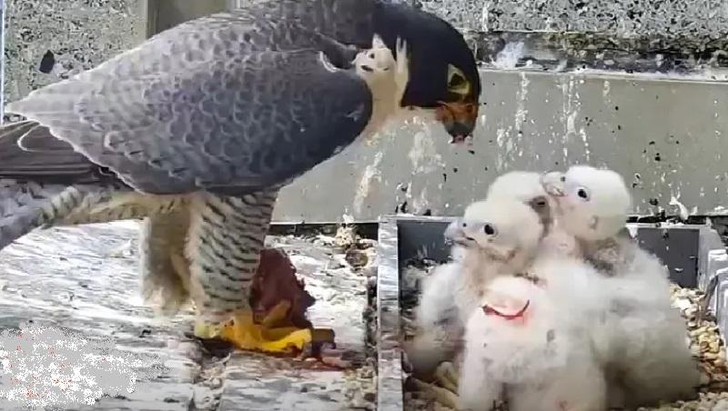 Em meio a rígido lockdown, falcões peregrinos se tornam xodó de moradores de Melbourne, que acompanham online o dia dia das aves