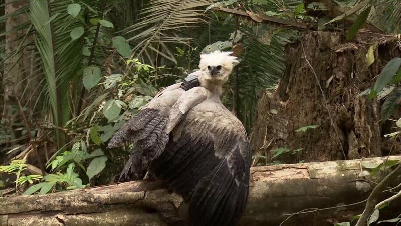 Filhote de harpia encontrado em estrada de Rondônia é devolvido a seu ninho