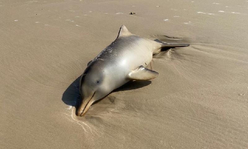Filhotes de golfinho aparecem mortos em praias de Florianópolis, suspeita é que foram sufocados por redes de pesca