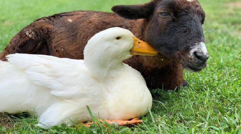 Amizade linda e inusitada: cabra toma conta de pato com ferimento na pata, que o impede de andar