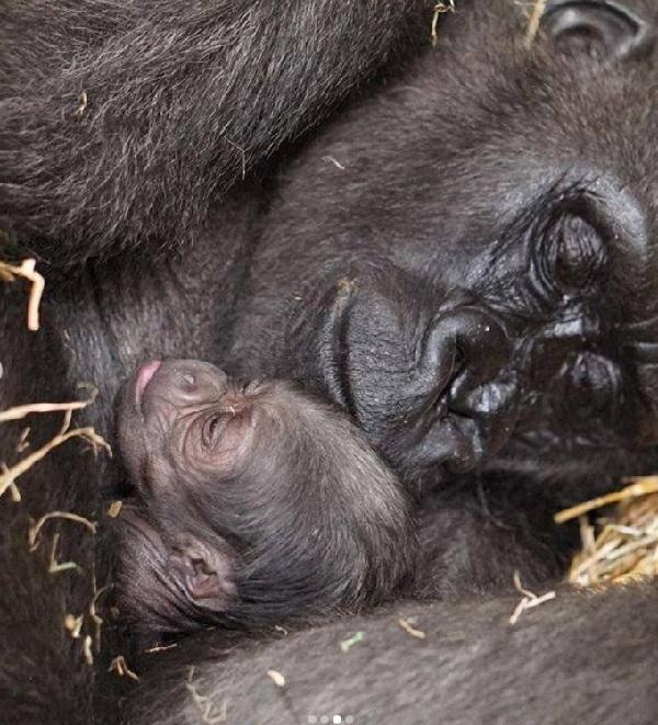 Nasce em zoológico de Boston primeiro macho de gorila de espécie criticamente ameaçada de extinção