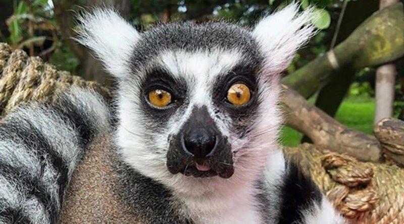 Lêmure desaparece do Zoológico de São Francisco, na Califórnia, e é encontrado num parque infantil