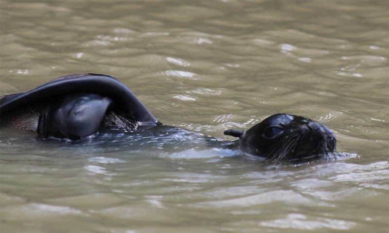 Lobo-marinho é resgatado em rio no interior do Maranhão, a mais de 160 km do mar