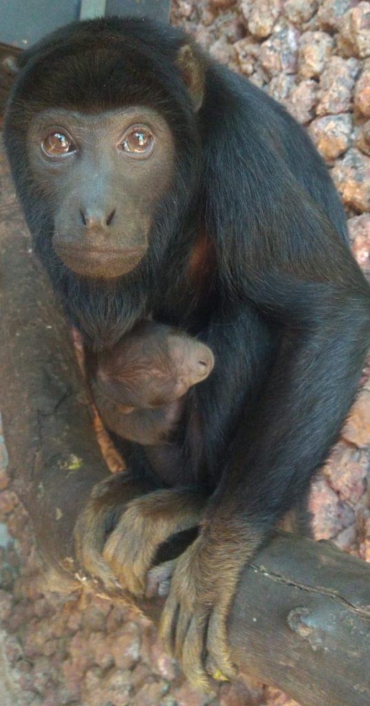 Zoo de Brasília dá boas-vindas a novo morador: um filhote de bugio-de-mãos-ruivas, espécie em risco de extinção