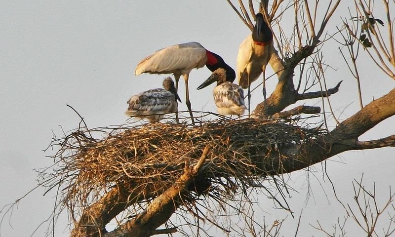 Famoso ninho de tuiuiú destruído por incêndios do Pantanal é substituído por um artifical