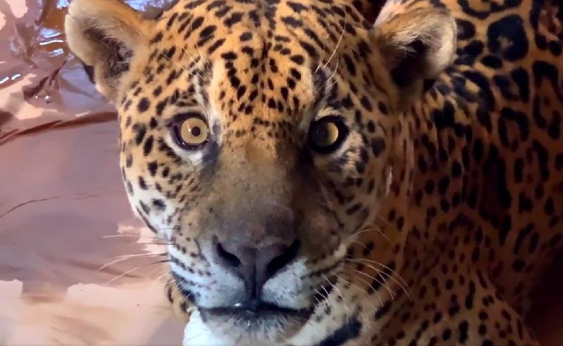 Ousado, onça resgatada com patas queimadas no Pantanal, recebe alta veterinária