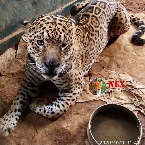 Ousado, onça-pintada que teve patas queimadas pelos incêndios do Pantanal, volta à natureza