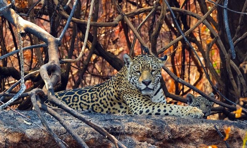 Pantanal: o que podemos esperar após os incêndios?