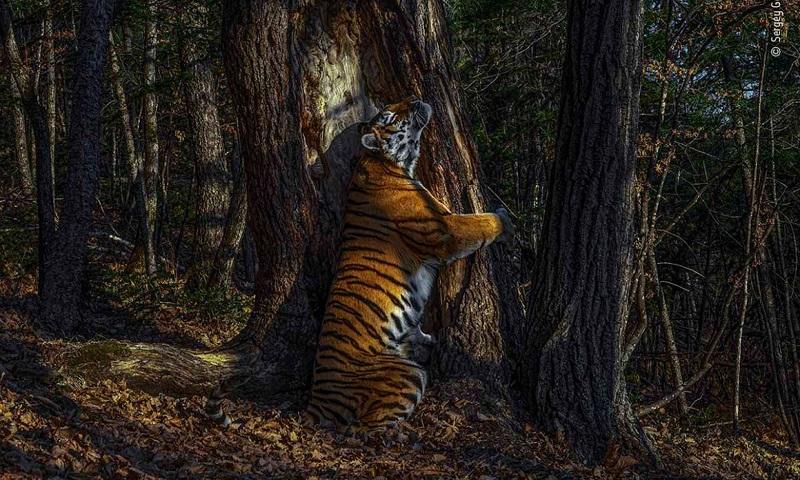 Registro de tigresa siberiana abraçando uma árvore é vencedor do Wildlife Photographer of the Year 2020