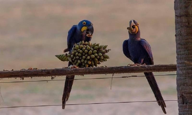 Apesar dos incêndios no Pantanal, araras-azuis permanecem no maior refúgio da espécie do Brasil