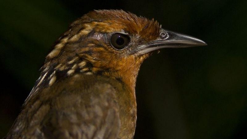Declínio de aves em áreas intocadas da Floresta Amazônica surpreende cientistas