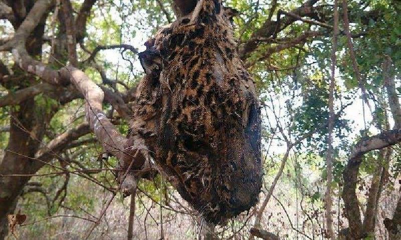 Caçadores matam onça-pintada no Pantanal e penduram cabeça em árvore