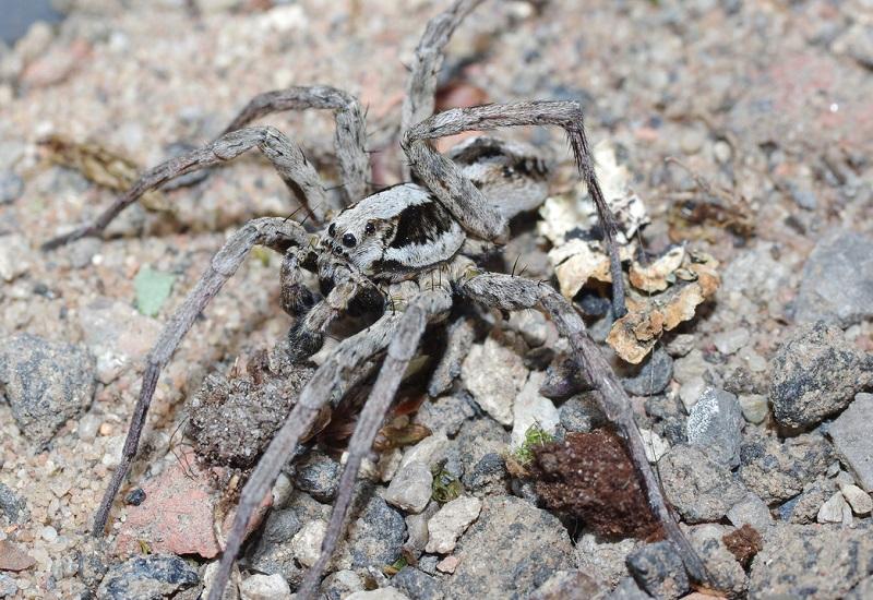 Considerada praticamente extinta há mais de 20 anos, uma das maiores aranhas do Reino Unido é redescoberta