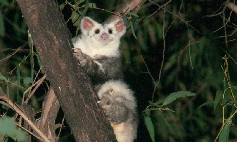 Duas novas espécies de marsupiais são descritas na Austrália