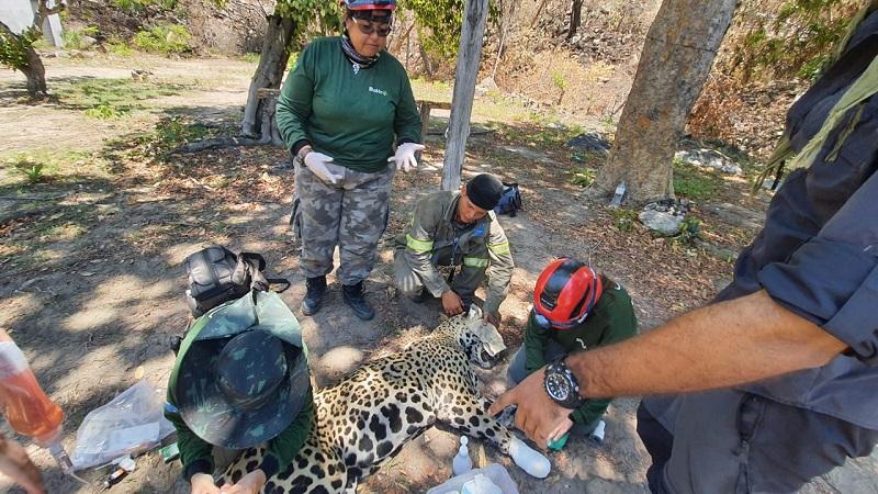 Fogo volta à Serra do Amolar, no Pantanal, e duas onças-pintadas são resgatadas com queimaduras nas patas
