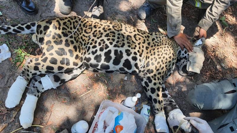 Fogo volta à Serra do Amolar, no Pantanal, e duas onças-pintadas são resgatas com queimaduras nas patas