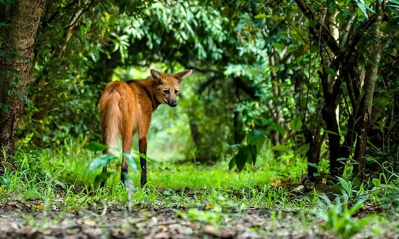 Aumentam registros de lobo-guará na Amazônia, indicativo da transformação da floresta em pasto