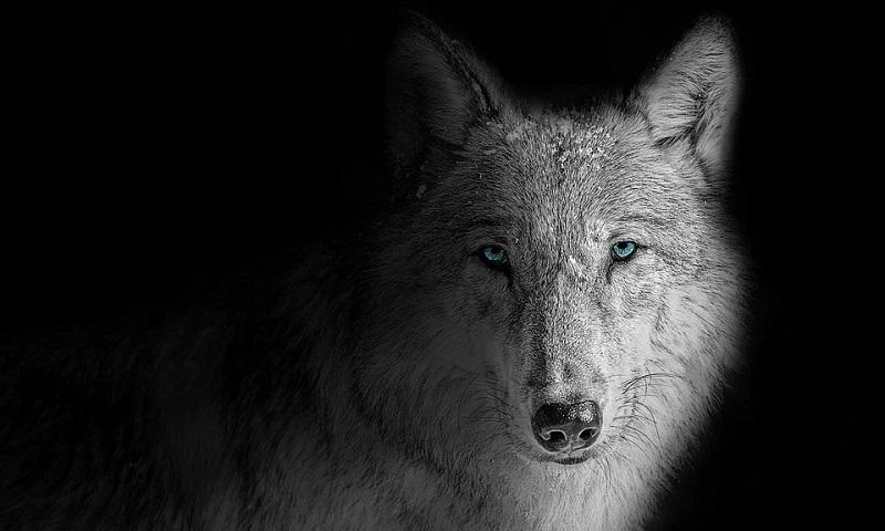 Nas urnas, população do Colorado vota pela reintrodução do lobo cinza no estado