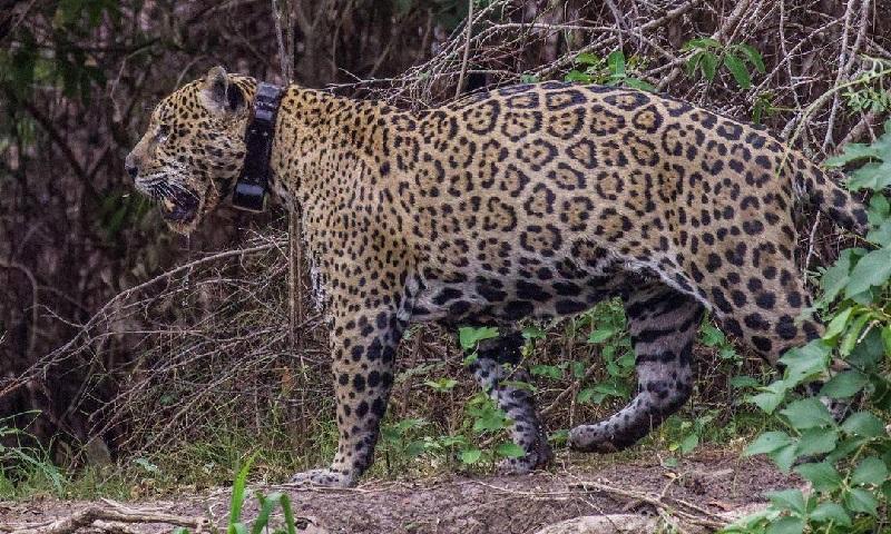 Quase um mês após voltar ao Pantanal, Ousado, a onça-pintada que teve patas queimadas pelos incêndios, é flagrado caçando