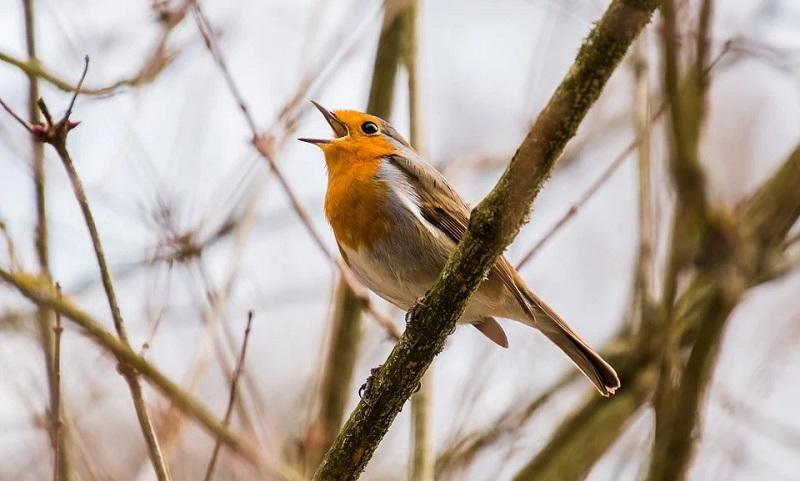 Sempre se acreditou que apenas aves machos cantavam mais. Até que mulheres cientistas começaram a estudar os pássaros...