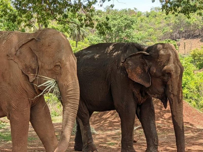 Promotor de Ribeirão Preto pede que elefanta Bambi levada para santuário seja devolvida para zoológico