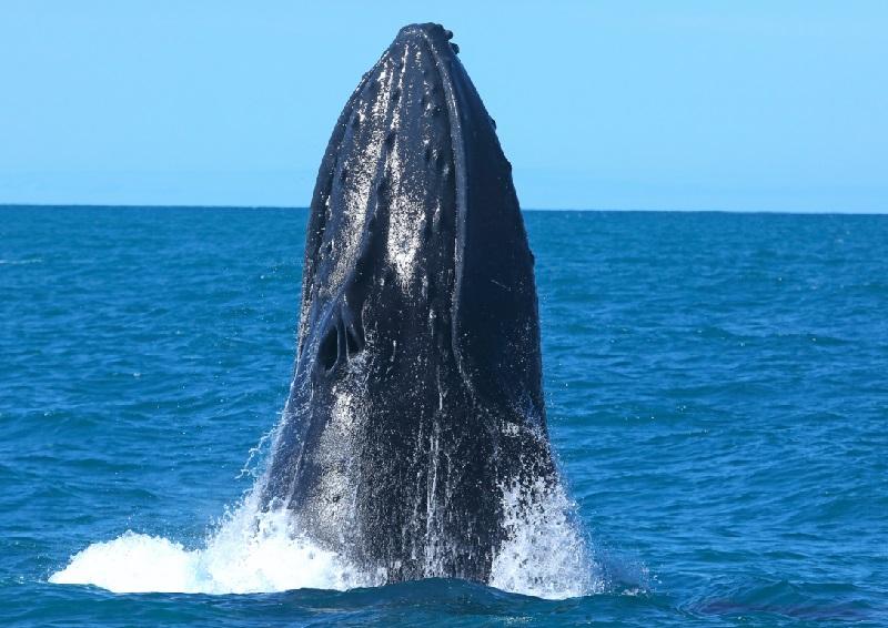 Censo revela aumento de baleias jubarte na costa brasileira e sobretudo, de filhotes nascidos na Bahia e Espírito Santo
