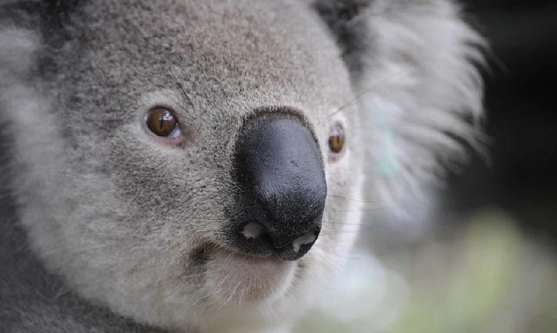 Inteligência artificial será usada para fazer reconhecimento facial de coalas e assim, evitar atropelamentos na Austrália